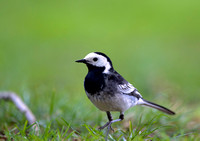 pied wagtail3