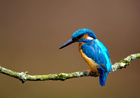 kingfisher2