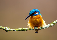 kingfisher6