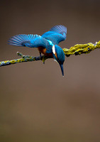 kingfisher5