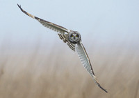 short-eared-owl-leeds-mark-hughes