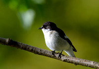 pied flycatcher4