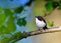 pied flycatcher3