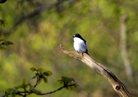 pied flycatcher2