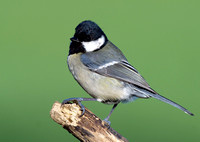 great tit7