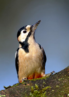 great spotted woodpecker16