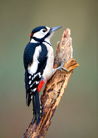 great spotted woodpecker10