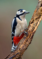 great spotted woodpecker12