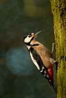 great spotted woodpecker1