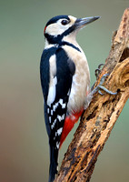 great spotted woodpecker11