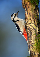 great spotted woodpecker14
