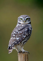 little owl4