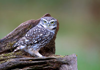 little owl8