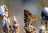 reed bunting3