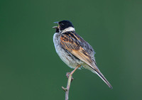 reed bunting4