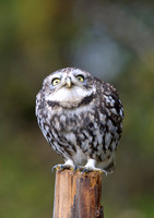 little owl7