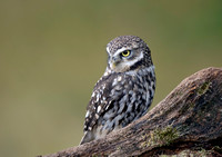 little owl6