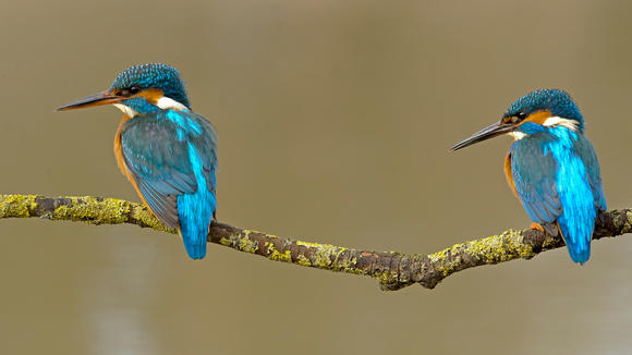 kingfisher-mark-hughes