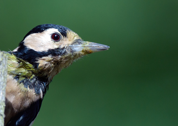great spotted woodpecker2