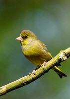 greenfinch1