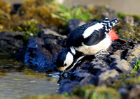 great spotted woodpecker20