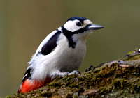 great spotted woodpecker6